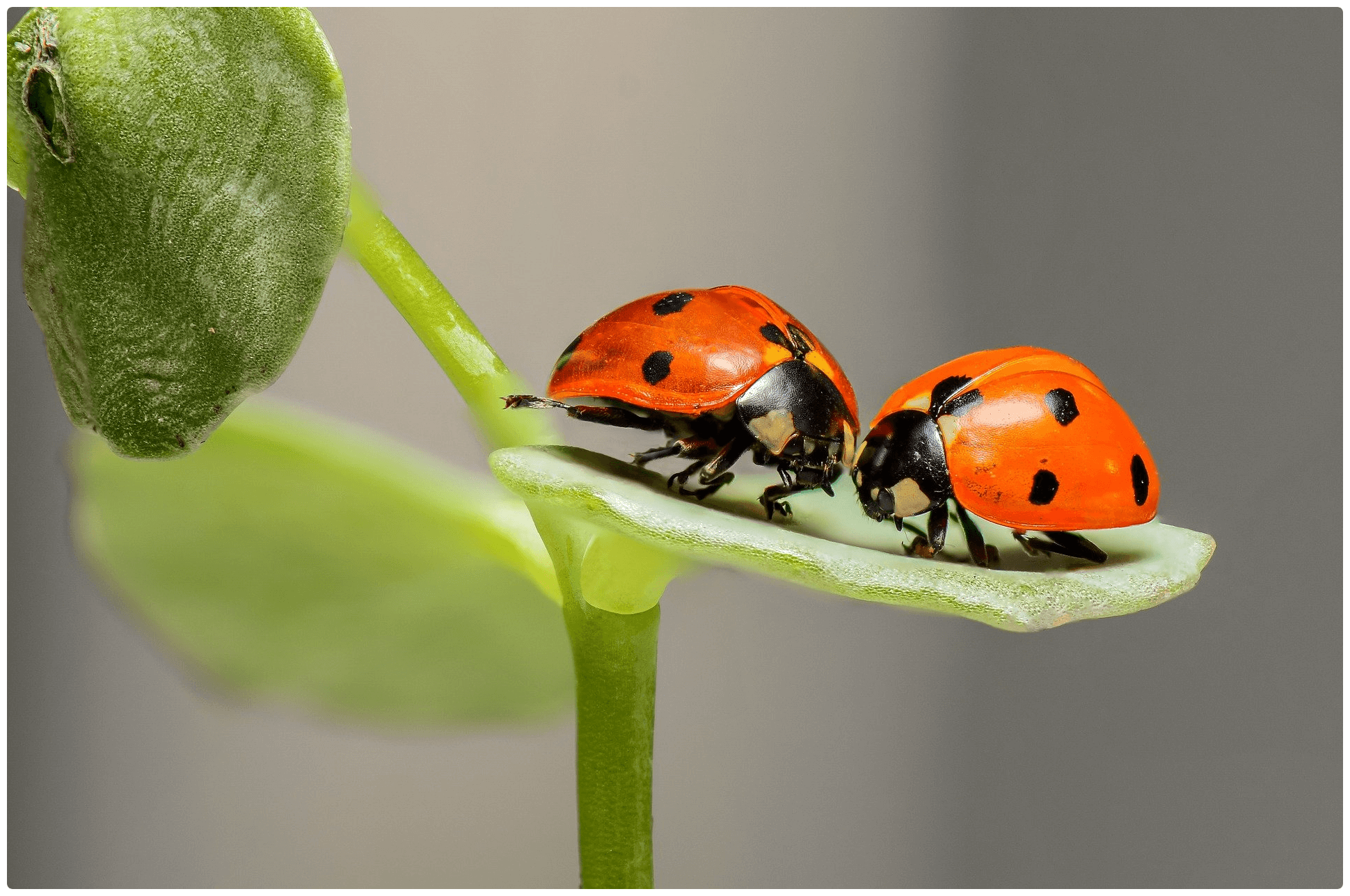 Two ladybirds on a leaf.